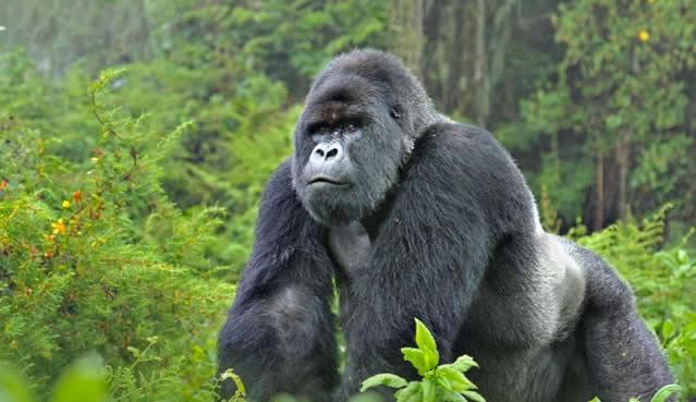 Gorilla-Habituation-Expereince-1