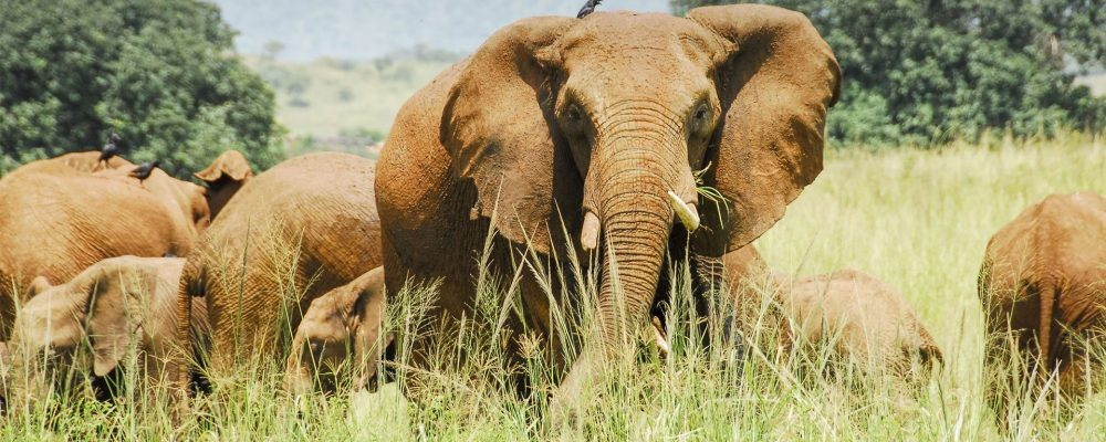 elephant-on-the-plains-kidepo-valley-national-park