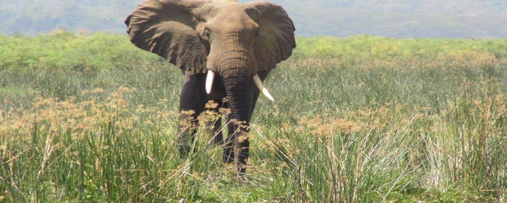Murchison-elephant