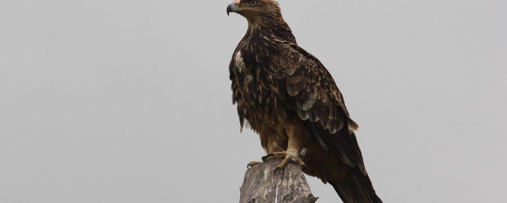 birding-hawk-1