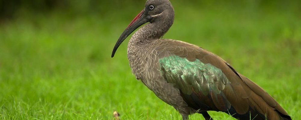 uganda_bird_2