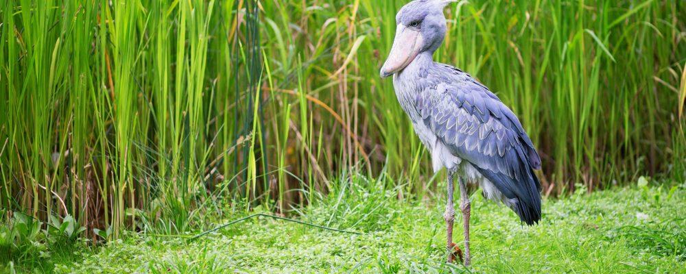 uganda_bird_6